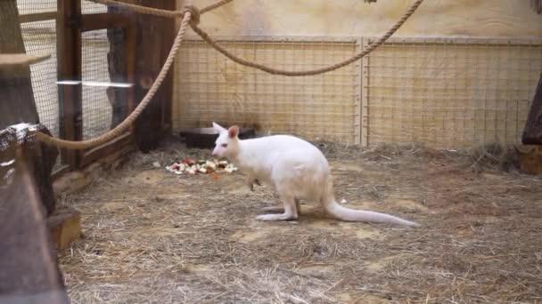 White kangaroo is at the zoo