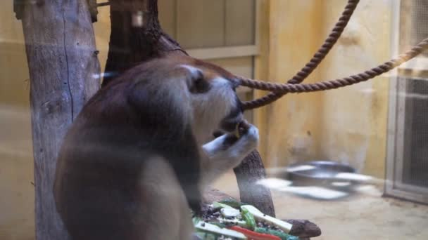 Brown monkey eats at the zoo
