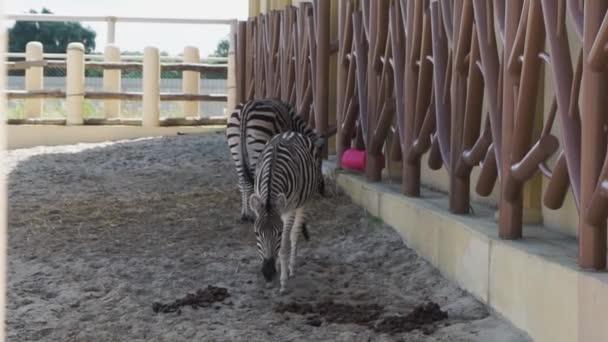 Dvě zebry chodit ve výběhu v zoo