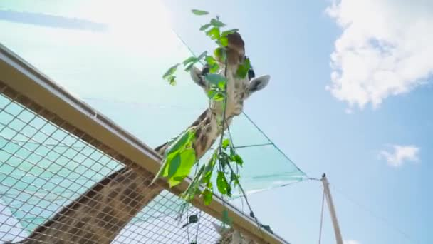 Giraffe eats twig with leaves in the zoo
