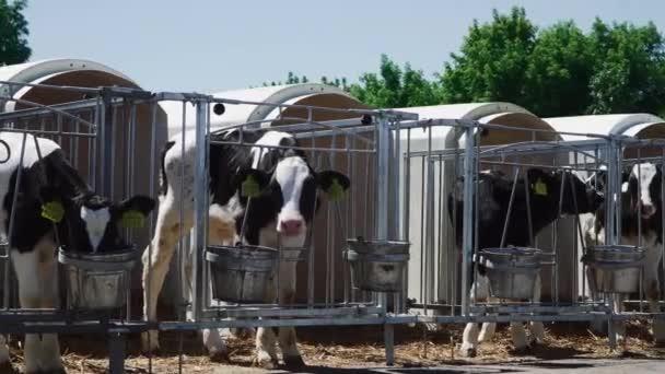 Calves are eaten in aviaries