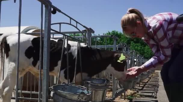 Blonde Dame füttert kleines Kalb auf dem Bauernhof