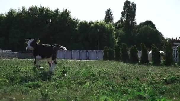 Little calf runs on a green lawn.