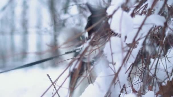 Dvě krásné sibiřský husky kousnutí větve pokryté sněhem na zimní bílé rozostření pozadí. Psi na zimní procházky v lese