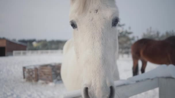 Beautiful white thoroughbred horse standing behind fence in snow at a ranch close up. Several horses in the background in the winter paddock. Concept of horse breeding. Camera moves around