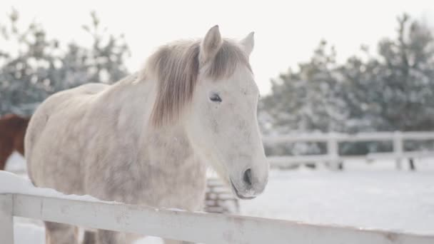 Beautiful white dappled horse standing behind fence in snow at a ranch looking in camera close up. Amazing thoroughbred animal in the winter paddock. Concept of horse breeding. Camera moves closer