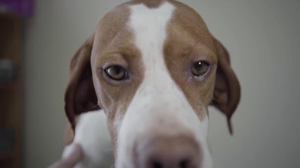 Nahaufnahme der Schnauze eines traurigen Zeighundes mit braunen Flecken, der in die Kamera blickt. Hand des Mannes Haustiere liebenswert Hund mit freundlichen Haselnussaugen. das Tier in der Tierklinik