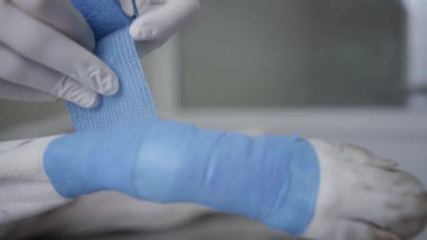 Při zavírání rukou do gumových rukavic veterinárního lékaře vázne tlapu psí pacientky s modrým elastickým obvazem. Veterinární je sterilní obvaz v psí tlapce. Zvířecí zdravotní péče a lékařský koncept