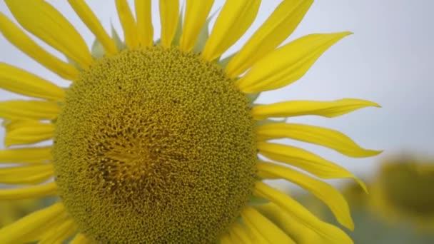 Közelből világos sárga napraforgó-termesztés területén. Kapcsolat a természettel. Vidéki életmód. Természet szépsége. Mezőgazdaság-koncepció
