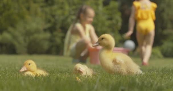 Baby-Enten, die vorne Federn putzen, während im Hintergrund verschwommene kaukasische Mädchen spielen. Haustiere und kleine Schwestern genießen den sonnigen Sommertag im Freien. Cinema 4k ProRes Hauptquartier.