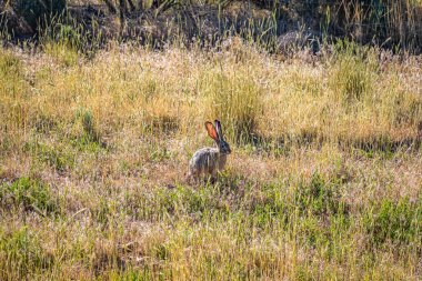 A Black Tailed Jackrabbit sits in the brush along Johnson Canyon Road in Kane County, Utah.