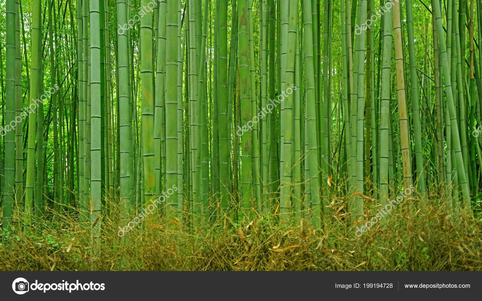 Foret Plantes Bambou Vert Jardin Zen Japon Photographie