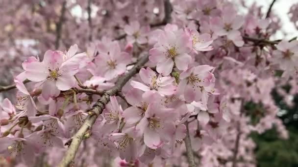 Krásné růžové sakura, třešeň květ květiny na jaře, Japonsko Tokio