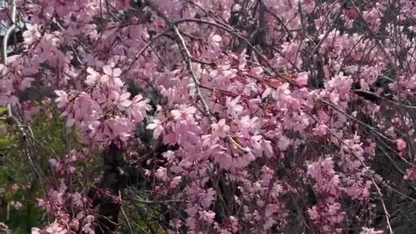 Beautiful pink sakura cherry blossom flower in springtime, Japan Tokyo