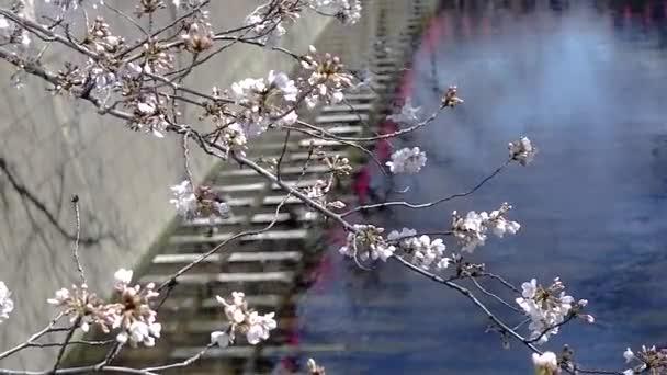 Gyönyörű rózsaszín sakura cseresznye virág virág tavasszal, Japán Tokió