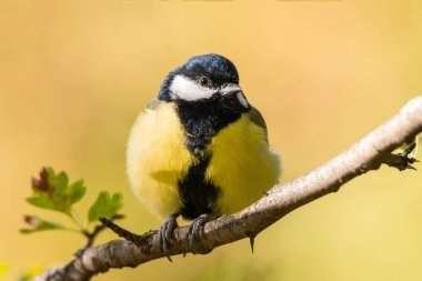 Tit sitting on an autumn tree in the park