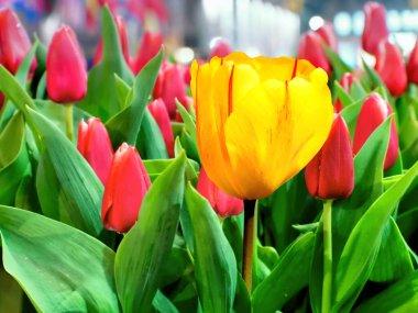 Yellow tulip against pink tulips in the garden