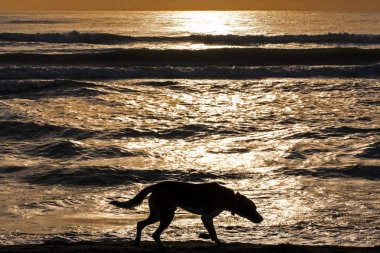 Silhouette of lonely dog walking along water edge at sunrise or sunset