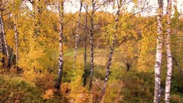Birches in a sunny golden autumn day. Pád listí.