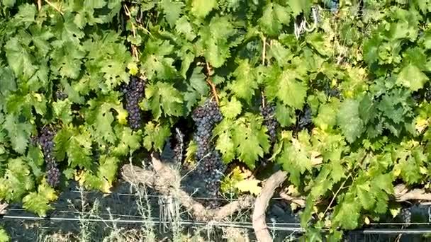 Az érett fürtöket szőlő szőlő szőlő