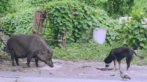 Egy nagy nő vaddisznó és egy kutya van étkezési a étel amit emberi volna hozott mint étel.