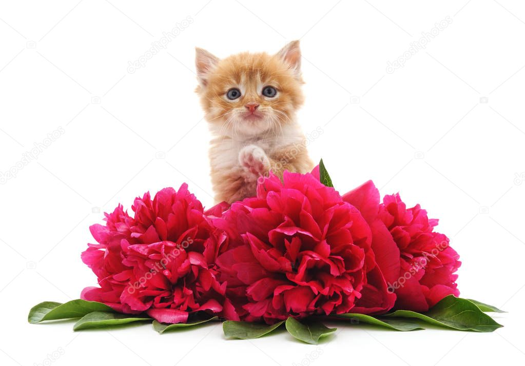 Brown kitten and flowers isolated on a white background.