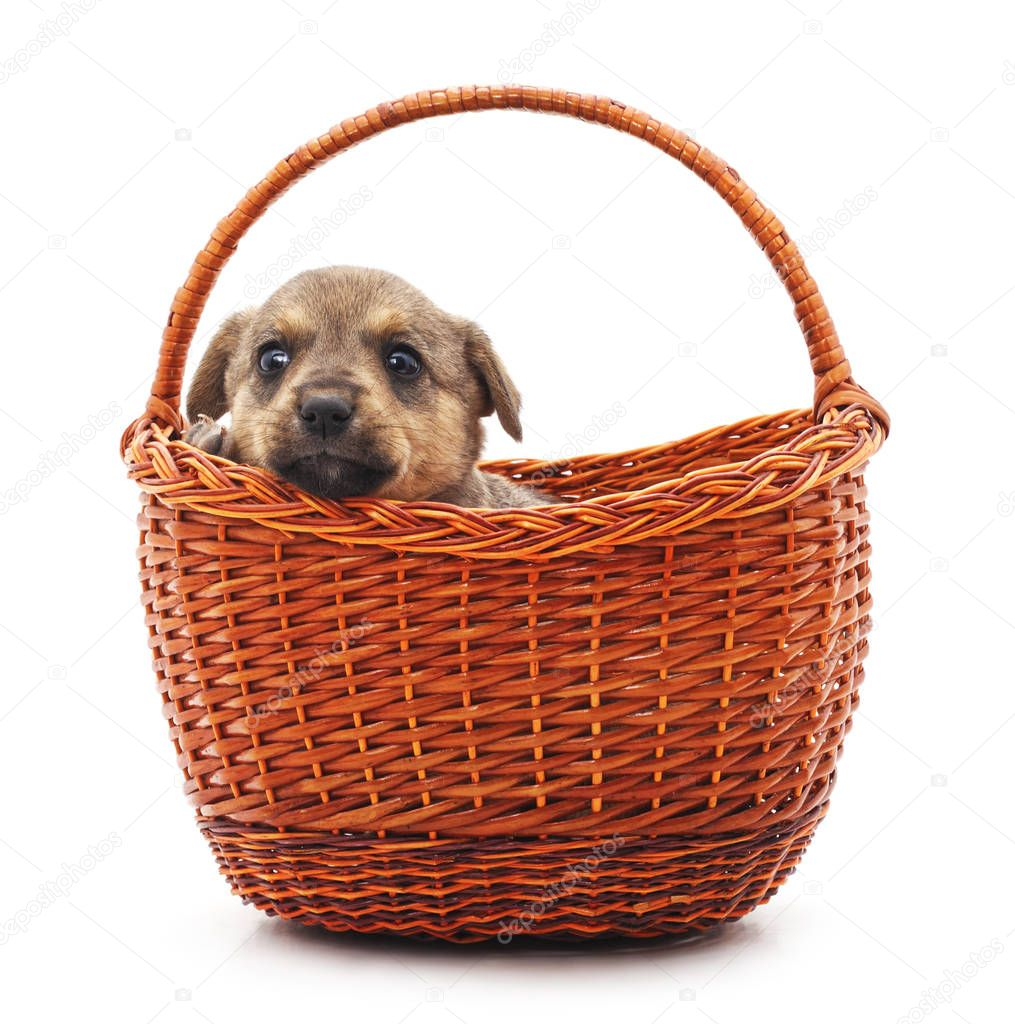Little puppy in a basket isolated on a white background.