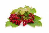 Red berries of viburnum with green leaf isolated on white background.