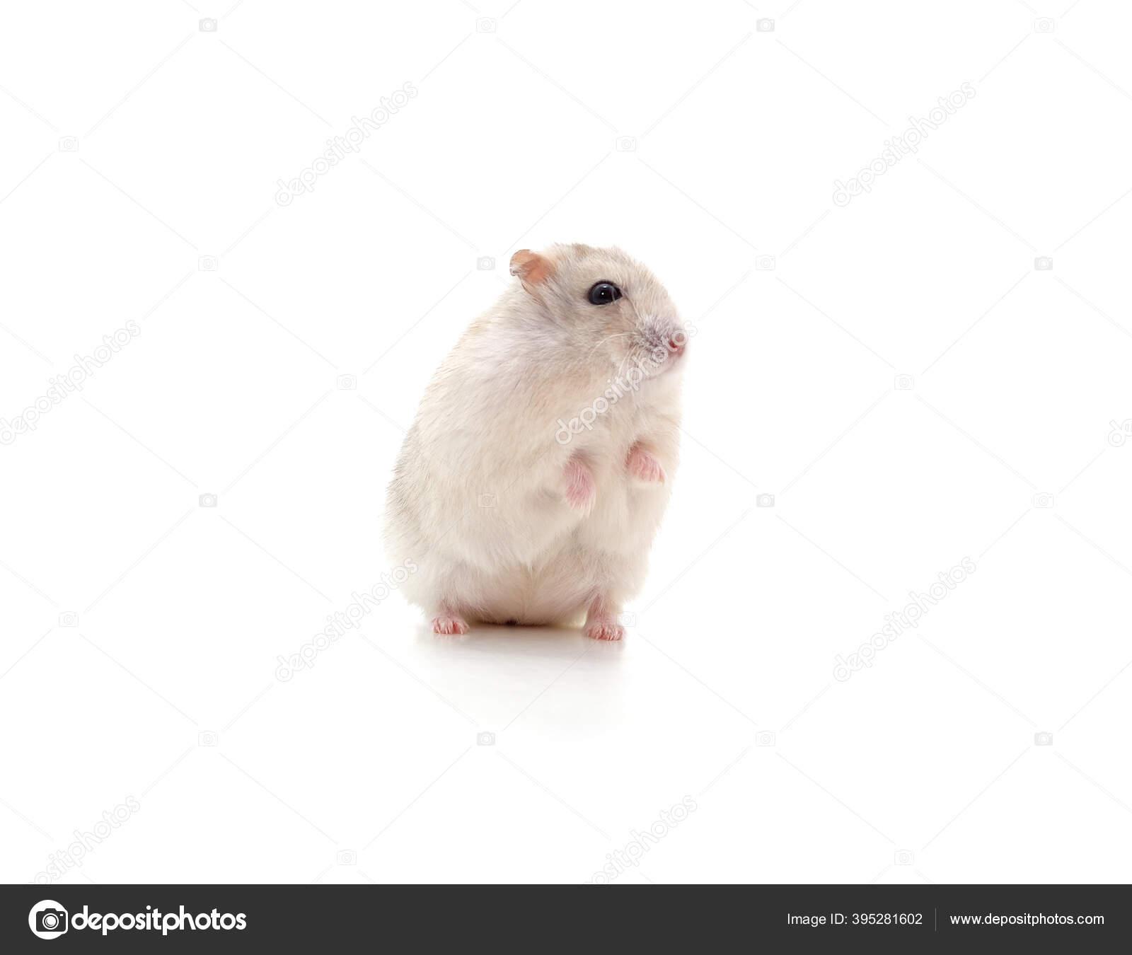 фото белого хомяка на фоне компа апл одним самых известных