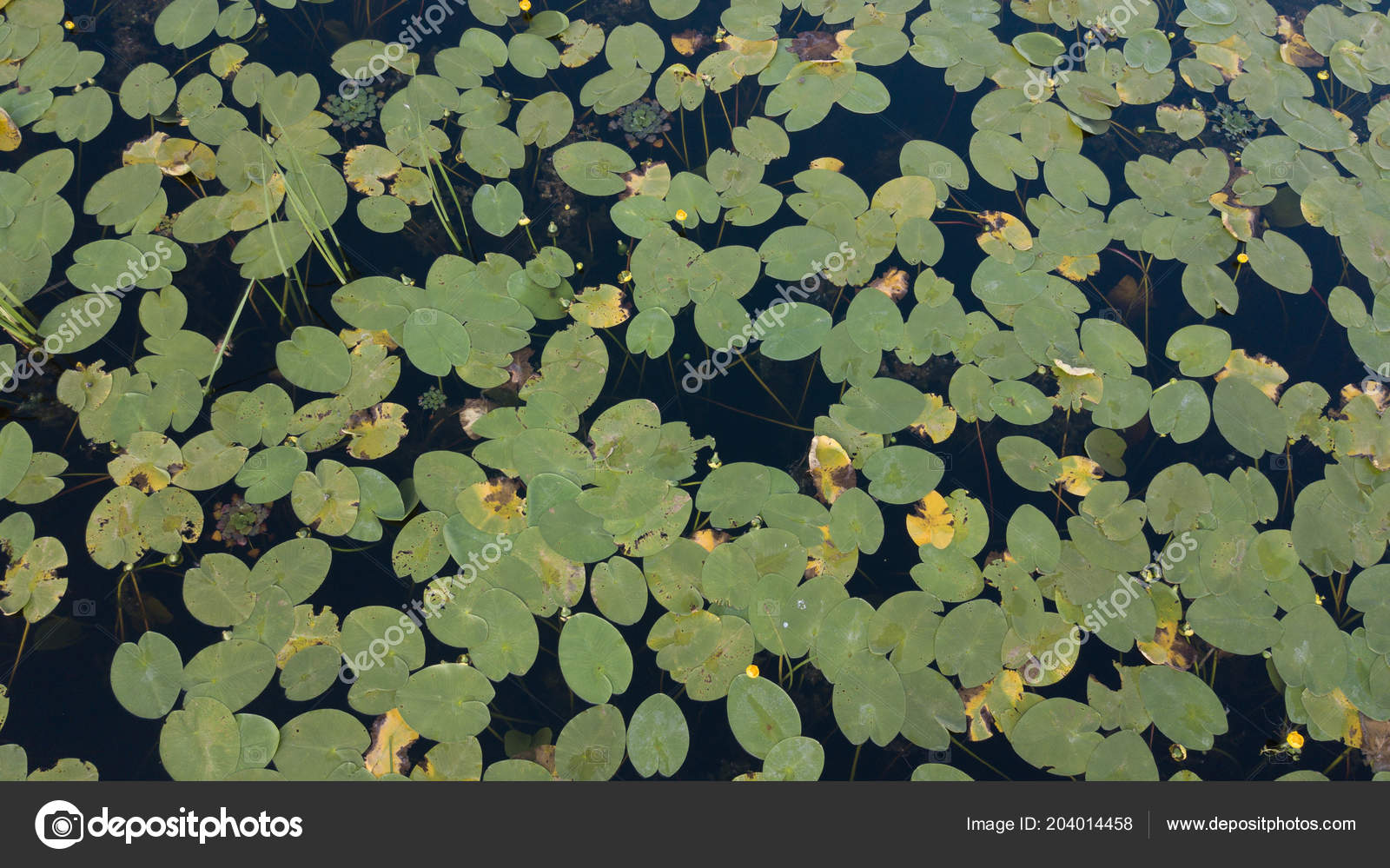 Top view water lilies white flowers pond japan stock photo top view water lilies white flowers pond japan stock photo izmirmasajfo