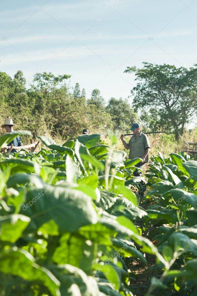 farmers on tobacco fields in Cuba, Vinales