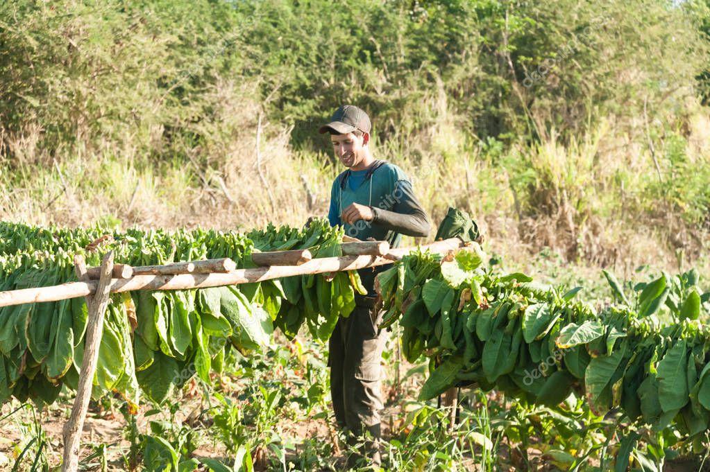 farmers in tobacco fields in cuba