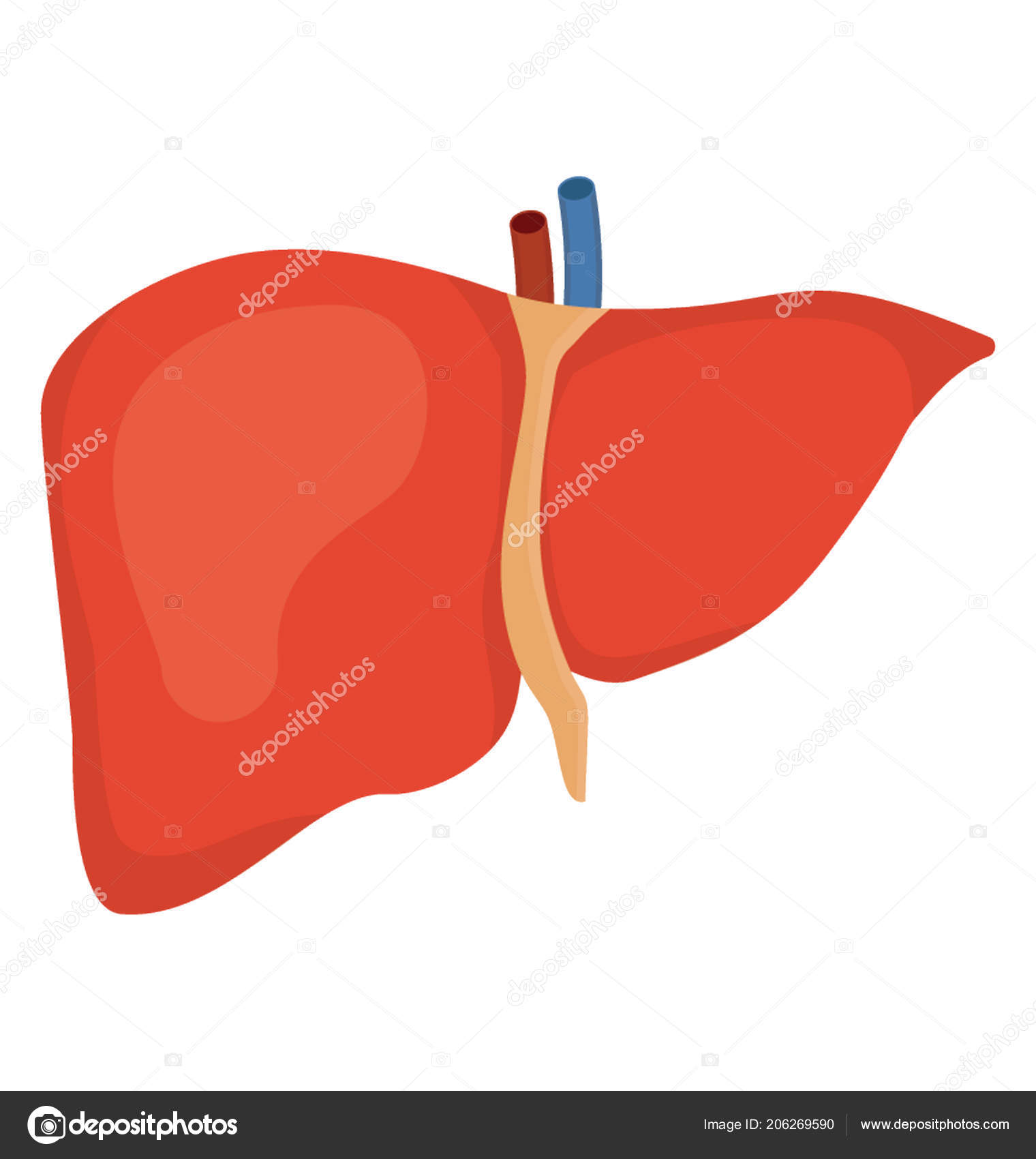 Internal Human Organ System Icon Here Denoted Showing Liver Stock