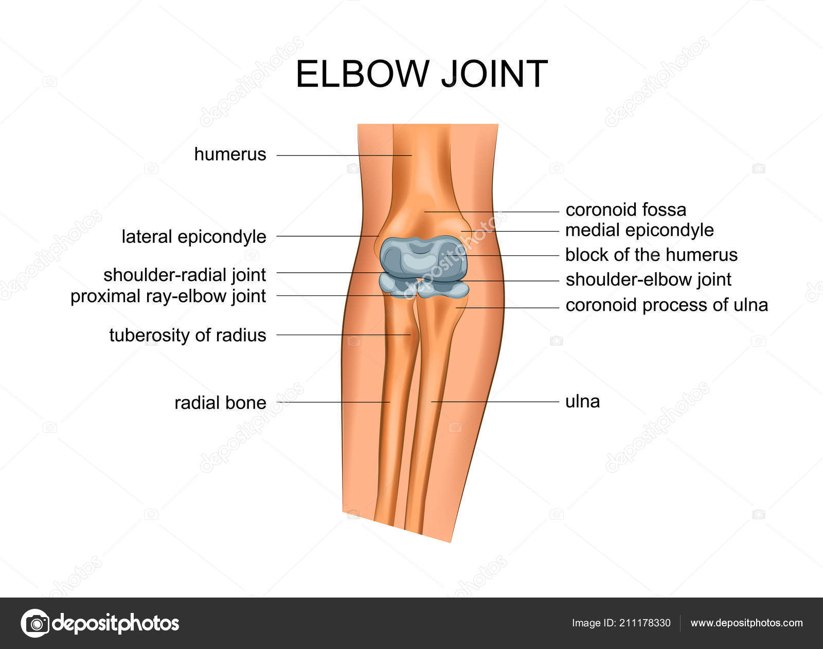 Vector Illustration Anatomy Elbow Joint Stock Vector Artemida