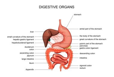 the organs of digestion. anatomy