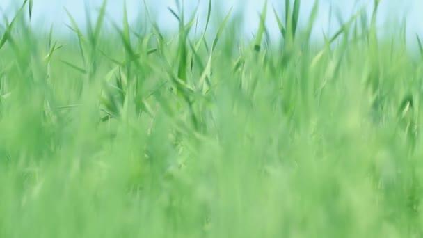 Textura pole trávy. Zaostření přechod