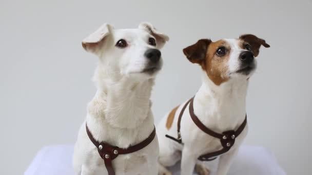 két Jack Russell Terrier a hazai belügyminiszter
