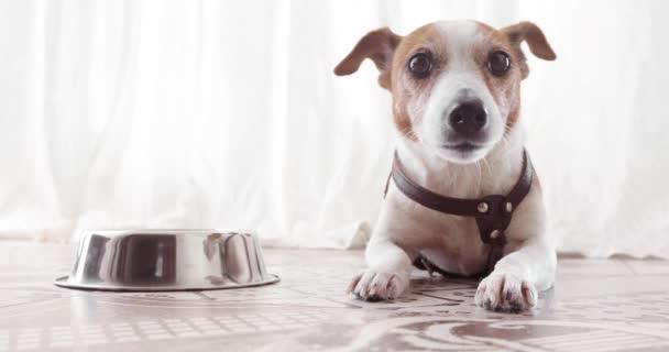 Jack Russell kutya közelében üres tál rejlik