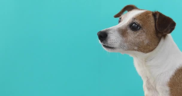 Portrét pěkné Jack Russell teriér modré pozadí