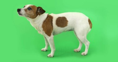 Dog Jack Russell Terrier is afraid of standing and trembling