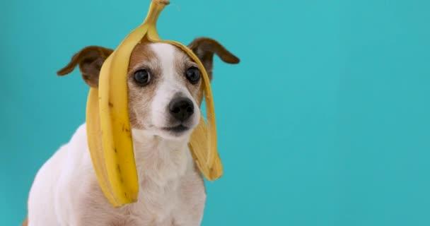 Funny pes s banánové slupce na jeho hlavu portrét