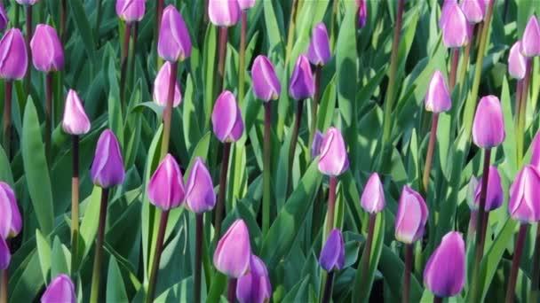 Čerstvé světlé tulipány. Přírodní pozadí mladých tulipánů.