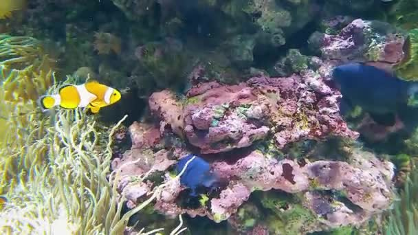 Beautiful anemone and fish - clown on a coral reef.