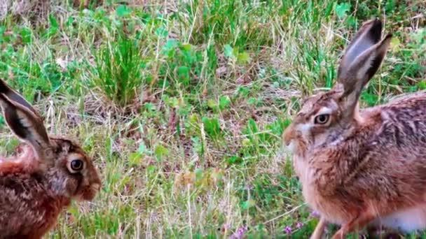 Wilde Hasen sitzen im Gras
