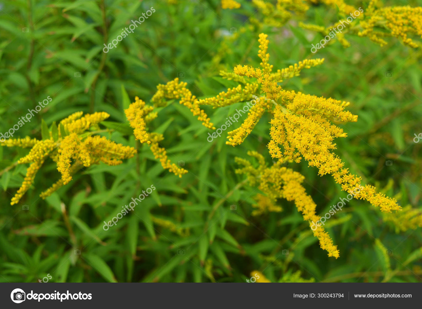 Arbusto A Fiori Gialli arbusti luminosi con fiori gialli una gigantesca canna