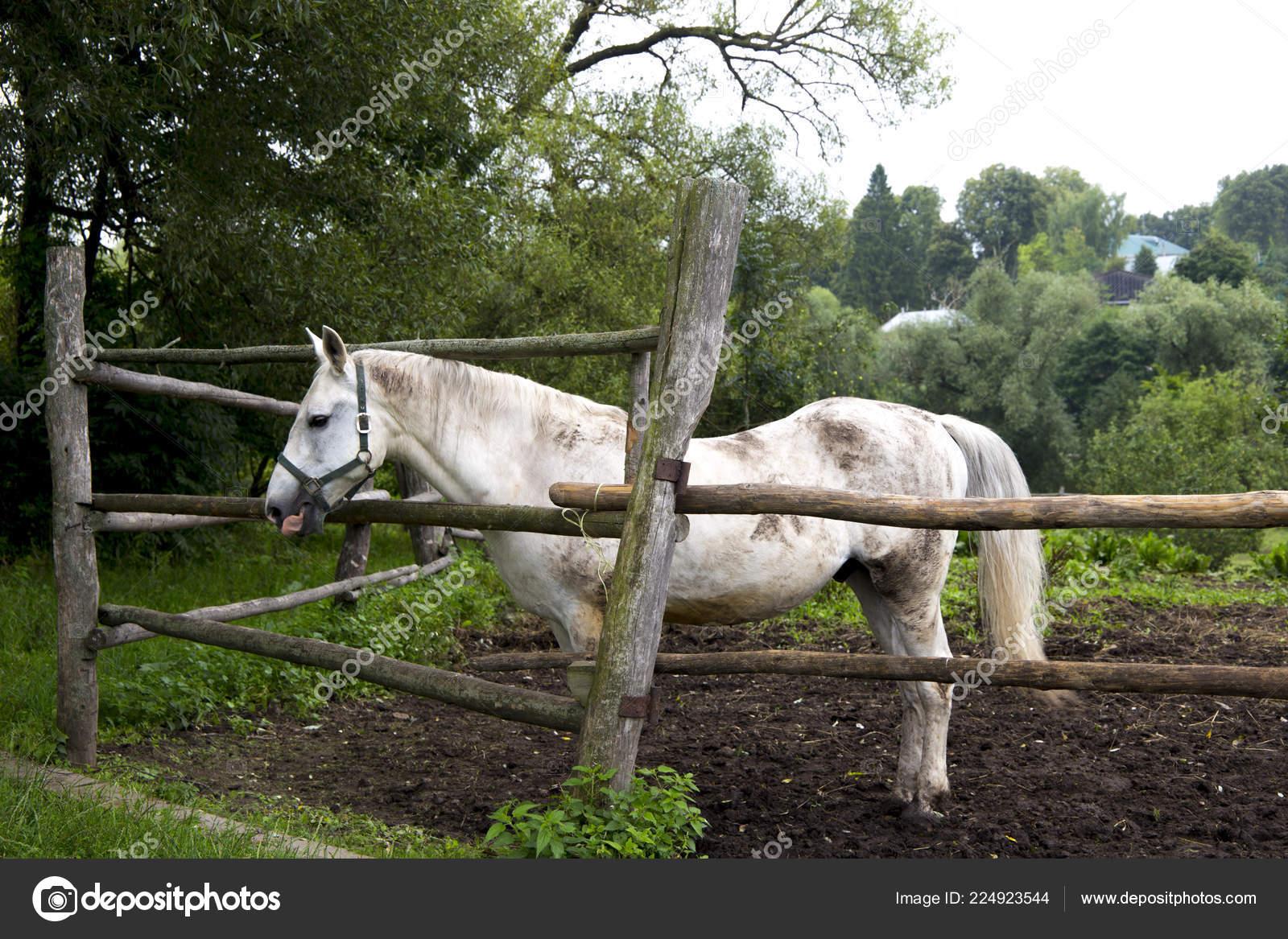 White Horse Animal Farm Stock Photo C Bon1984 224923544