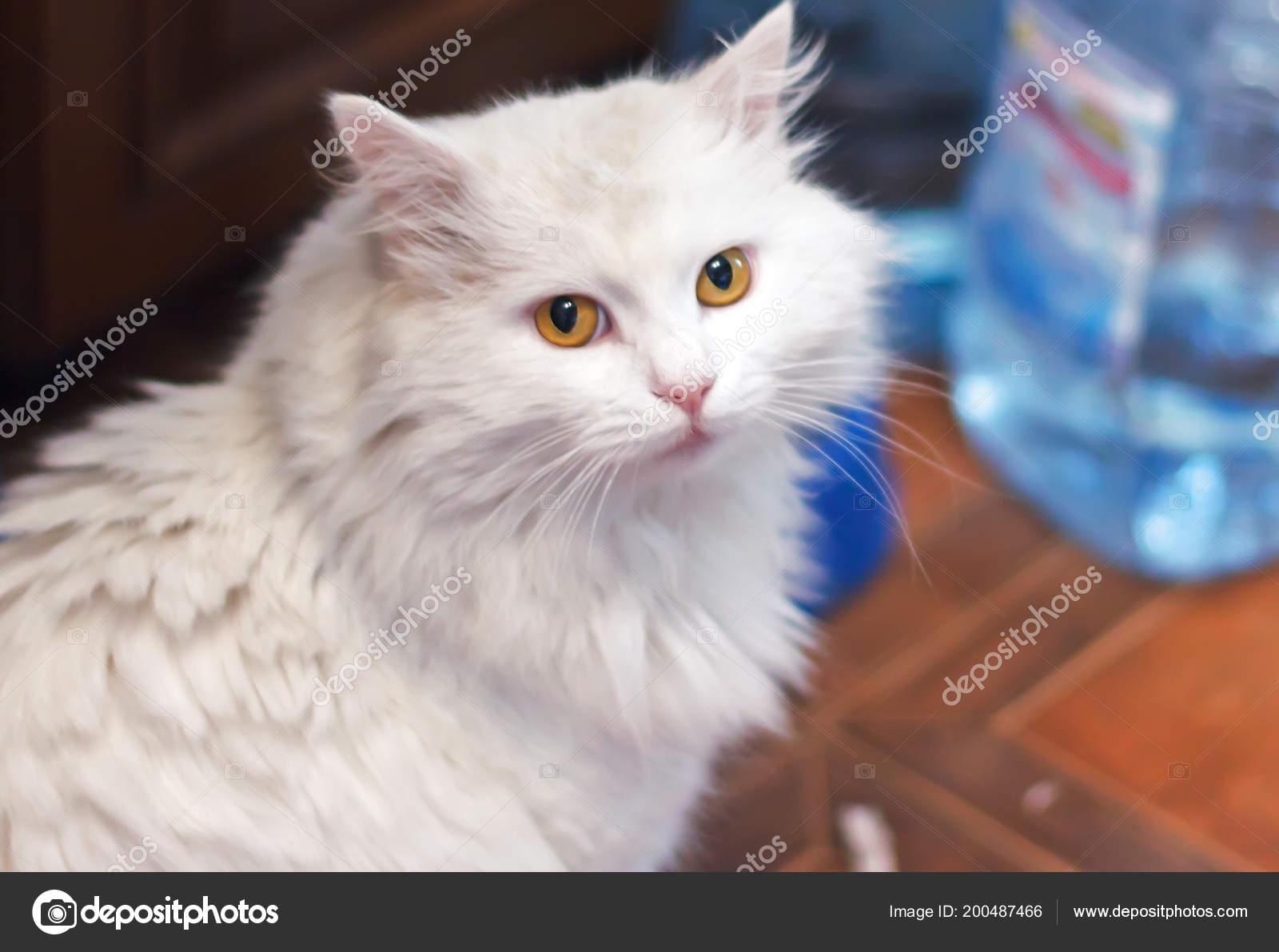a2d5012fc0e0e8 Hem vita katt rasen av den Turkiska Angoran sitter i köket– stockbild