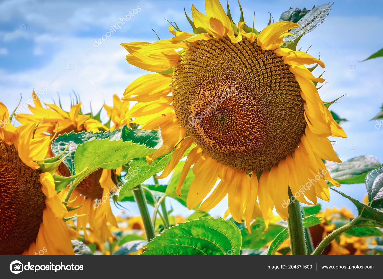 Beautiful sunflowers blue sky bright yellow flower sunflower blue beautiful sunflowers against the blue sky bright yellow flower of a sunflower against a blue sky on a sunny day selective focus photo by izmirmasajfo