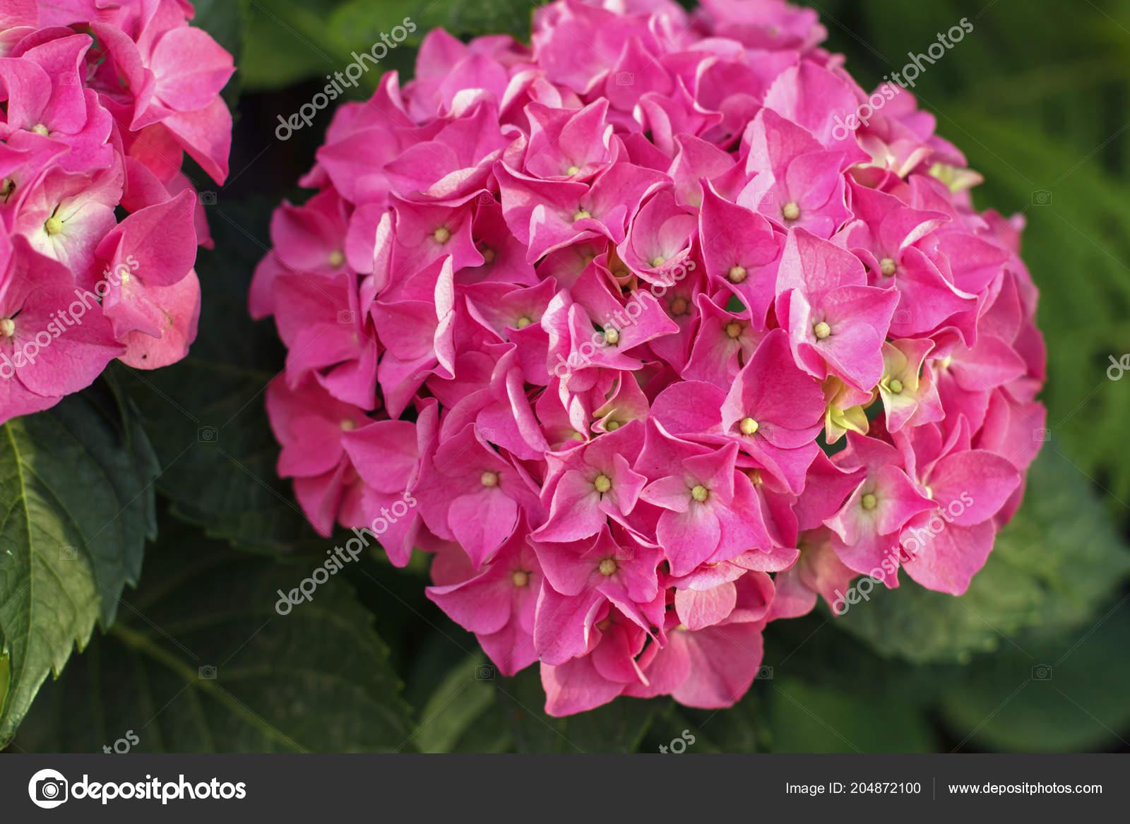 Hortense Eine Rosa Bluhende Hortensie Busch Zimmerpflanzen Die