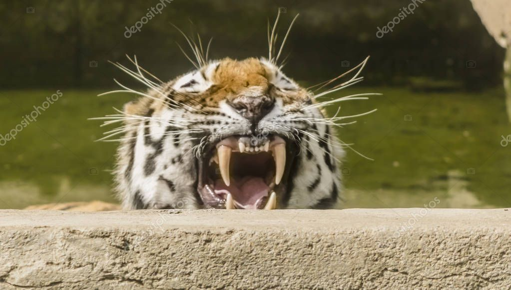 A tiger shows its teeth